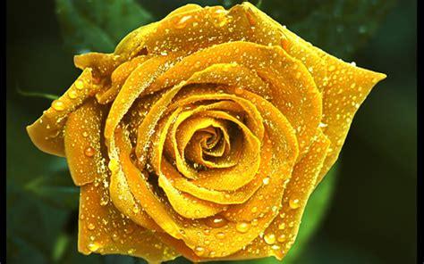 imagenes de flores rosas amarillas rosas amarillas fondos de pantalla