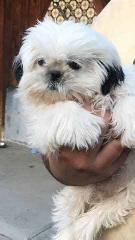 shih tzu puppies for adoption in california view ad shih tzu for adoption california modesto usa