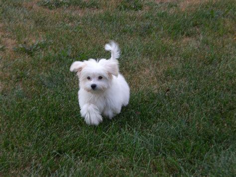 maltese puppy cut how to cut pomsky hair breeds picture