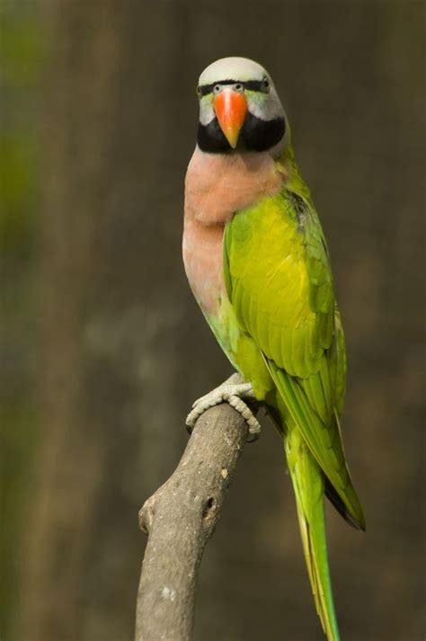 fabulous moustache parakeet parrot httpsacasadomagowordpresscom bom  boa tarde