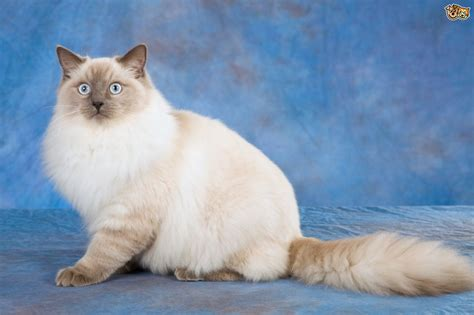 Ragdoll Cat Breed Information, Buying Advice, Photos and