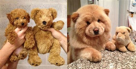 how can you tell how big a puppy will get puppies or teddy bears we can t tell maybe you can