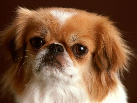pictures of pekingese puppies pekingese animals wiki pictures stories