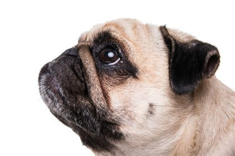 pug begging 11 things your hates that you need to stop doing now