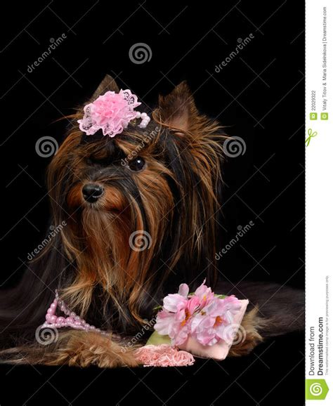 yorkie items yorkie with pink items stock photography image 22029322