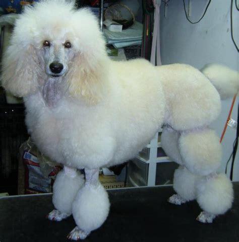 corte pelo caniche 10 tipos de corte de pelo para perros caniche o poodle