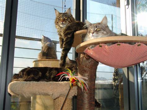 maine coon haltung wohnung wohnung willkommen bei den maine coon katzen in der