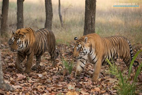 tigers waiting to be tamed how i fought my way out of vancouver books bandhavgarh every tiger has a story darter photography