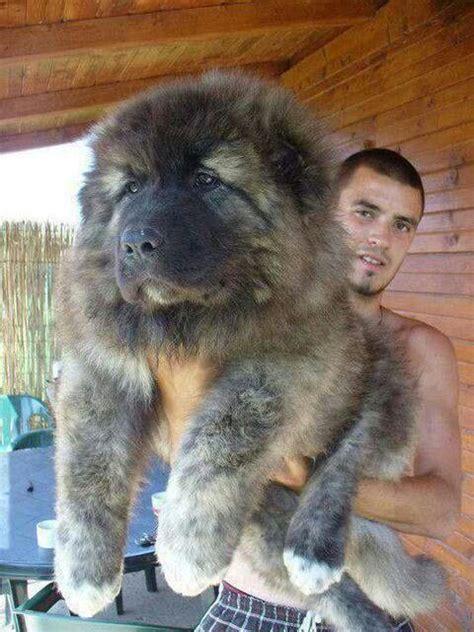 caucasian mountain dogs russian caucasian mountain my style