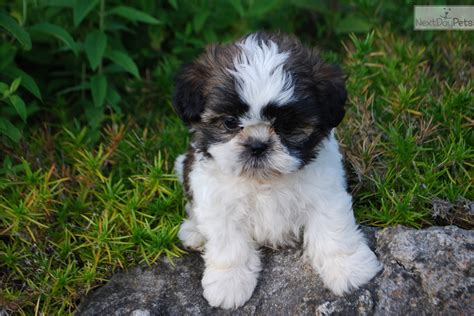 shih tzu puppies springfield mo tiny akc chion b l black white shih tzu for sale in springfield mo