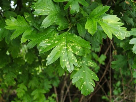 Hawthorn tree leaves the hawthorn tree was growing