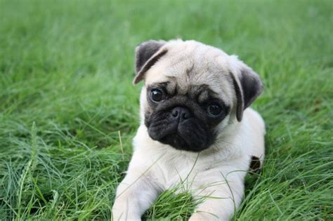 pictures of baby pugs baby pugs wallpaper
