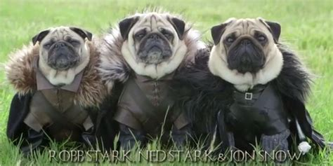 pug of thrones it s of thrones starring pugs