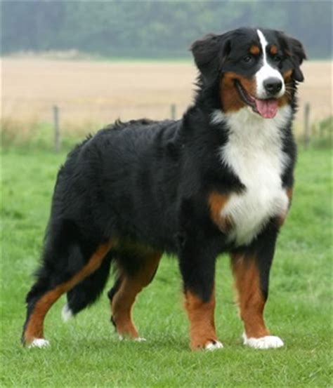bernese mountain breed history and some interesting facts bernese mountain breed history and some interesting facts