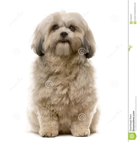 shih tzu sitting shih tzu sitting stock photo image 57024971