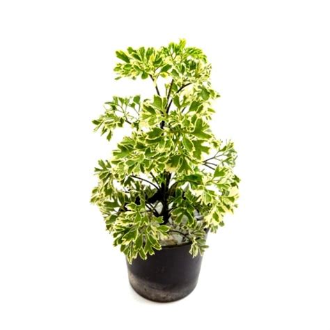 buy arelia plant miniature white  india
