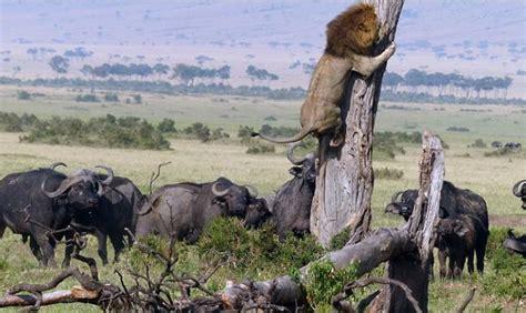 gambar singa lari ketakutan dikejar kawanan kerbau