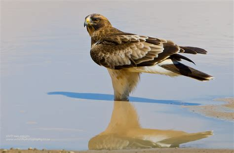 an about the booted eagle rob martin