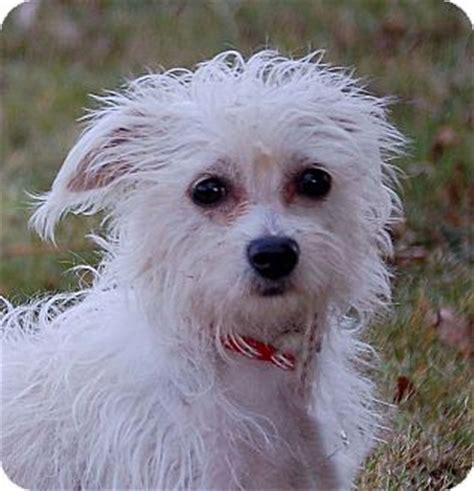 Yoda   Adopted Dog   Mora, MN   Chihuahua/Bichon Frise Mix