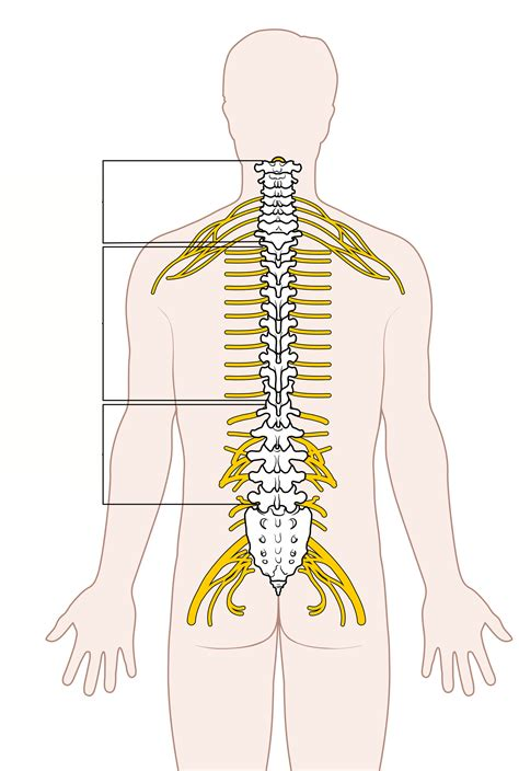 diagram of the spinal cord spinal column diagram 21 wiring diagram images wiring