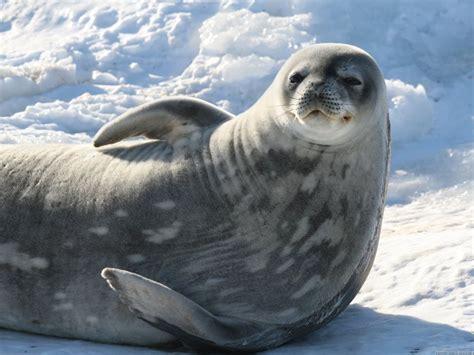Sea Ls by Seals Australian Antarctic Division
