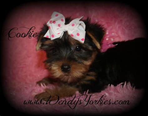 wendy s yorkies terrier breeders
