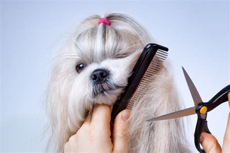 groom a shih tzu do you a shih tzu puppy how to take care of it