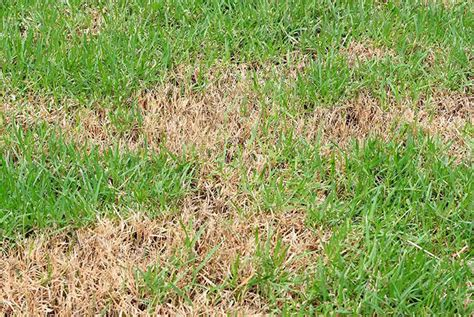 sod webworm control how to identify and get rid of sod webworms