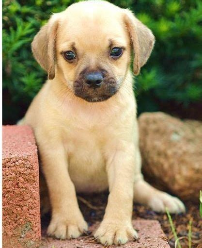 beagle pug mix puppy 453 best pug mixed breeds images on