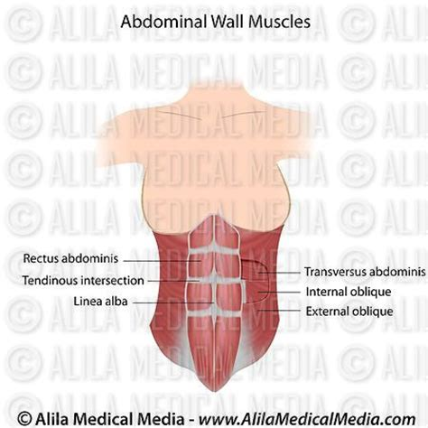 diagram of abdominal muscles alila media abdominal muscles labeled