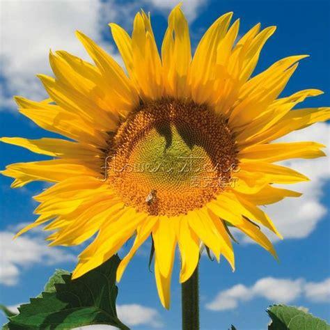jual beli benih biji bunga matahari sunflower giant