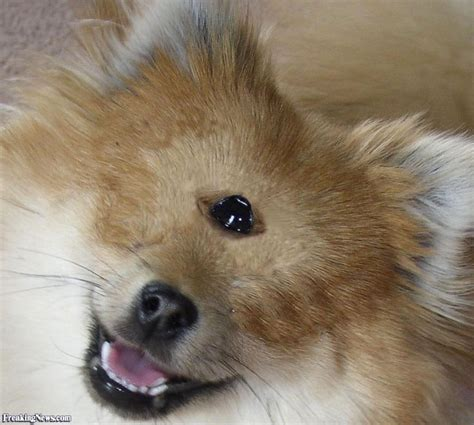 show me a picture of a pomeranian 99 best images about pomeranian dogs on guardians of ga hoole puppys and