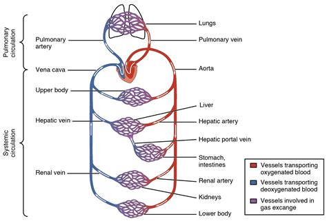 blood flow through the brain diagram gawles the pineal the endocrine immune and