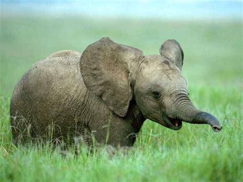 elephants start small grow  larger  life baby