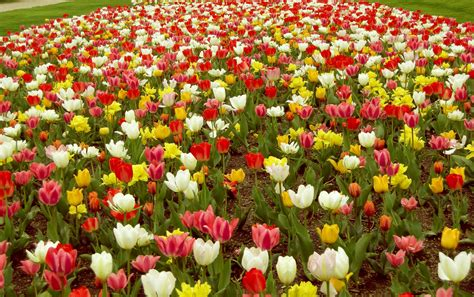 tulip flower garden glowing tulip flowers in nature hd wallpapers morewallpapers