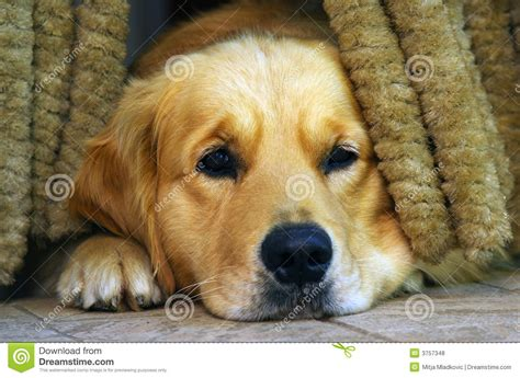 sad golden retriever puppy sad royalty free stock photos image 3757348