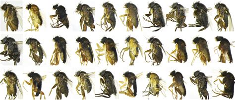 thirty new species of scuttle fly found in l a