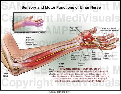 sensory and motor functions of ulnar nerve medivisuals