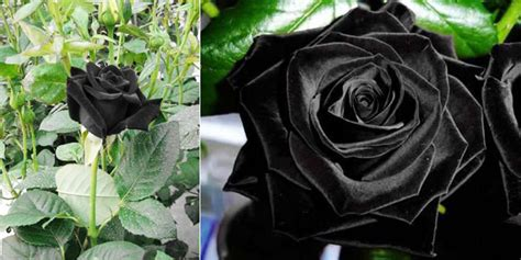Wallpaper Bunga Mawar Coklat 50 gambar foto bunga mawar hitam ayeey