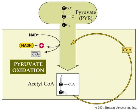 pyruvate oxidation diagram intro bio lec 8 columbia