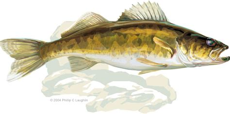 How To Draw Walleye