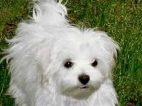 maltese bichon puppies bichon maltese ideal flat
