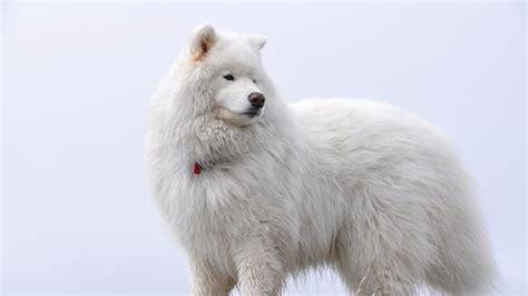 big white fluffy samoyed wallpaper animals hd wallpapers