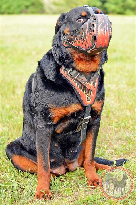how big do rottweiler dogs get get designer leather harness attack agitation walking