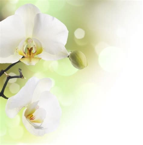 Läuse An Orchideen 3834 by Orchid Flower Images Free Stock Photos 10 865