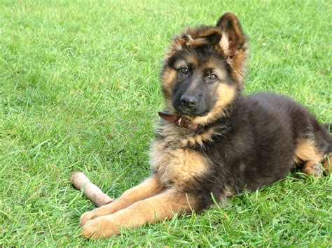 are german shepherds good house dogs are german shepherds good with kids canna pet 174