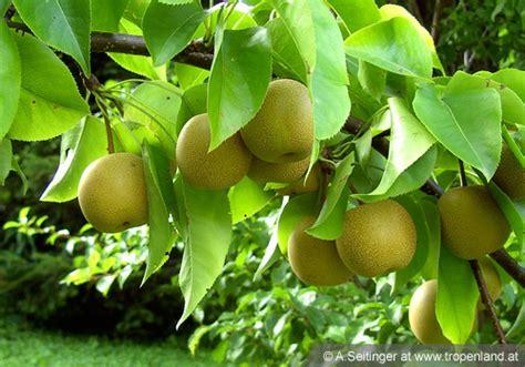 wann sind birnen reif nashi