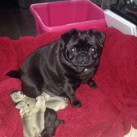 pug puppies for sale glasgow stunning kc pug puppies glasgow lanarkshire pets4homes