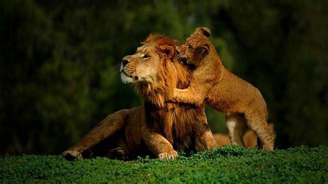 imagenes full hd de leones leones wallpapers imagui