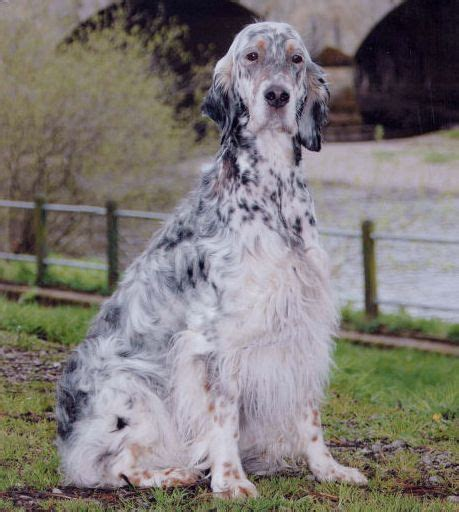 english setter dog red white lomonosov 1000 images about english setter on pinterest the
